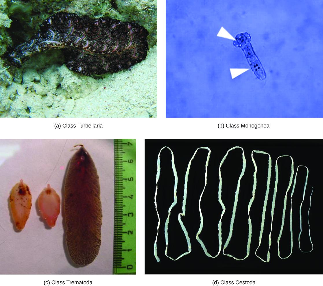 Superphylum Lophotrochozoa: Flatworms, Rotifers, and