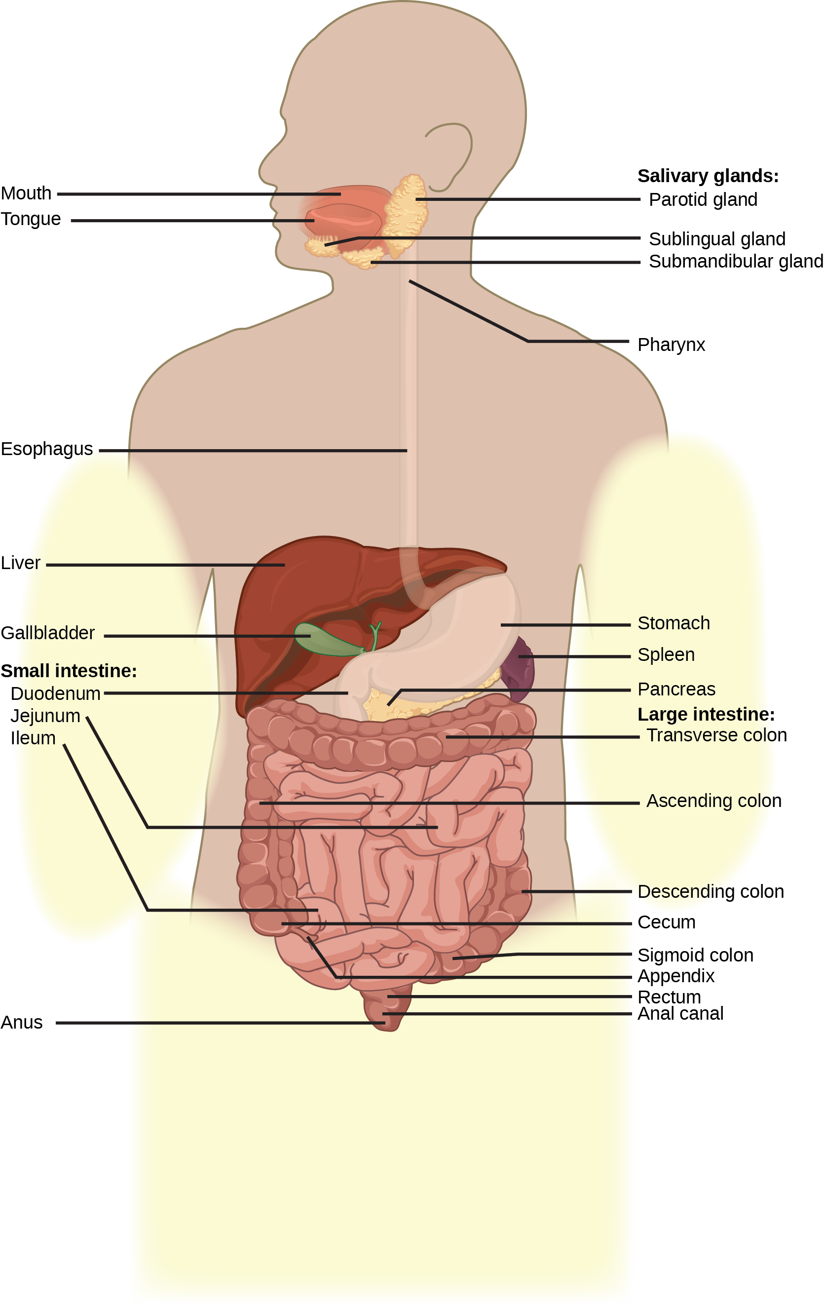 Digestive Systems Openstax Biology 2e The Muscles Organs Diagram Of A Sea Anemone Look From Inside Illustration Shows Human Lower System Which Begins With Stomach Sac