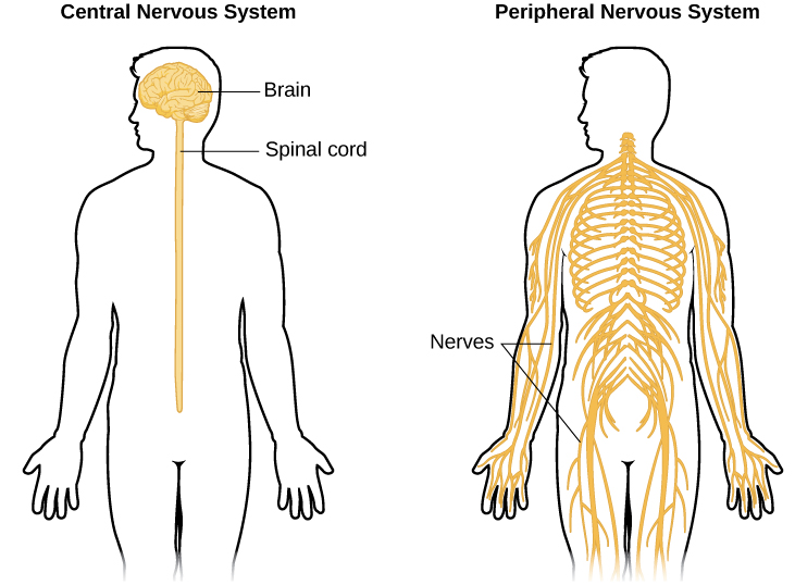 """An illustrated outline of a human body labeled """"central nervous system"""" shows the location of the """"brain"""" and """"spinal cord."""" An illustrated outline of the human body labeled """"peripheral nervous system"""" shows many """"nerves"""" inside the body."""