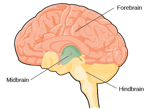 An illustration shows the position and size of the forebrain (the largest portion), midbrain (a small central portion), and hindbrain (a portion in the lower back part of the brain).