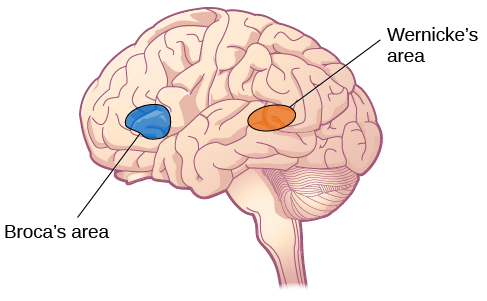 An illustration shows the locations of Broca's and Wernicke's areas.