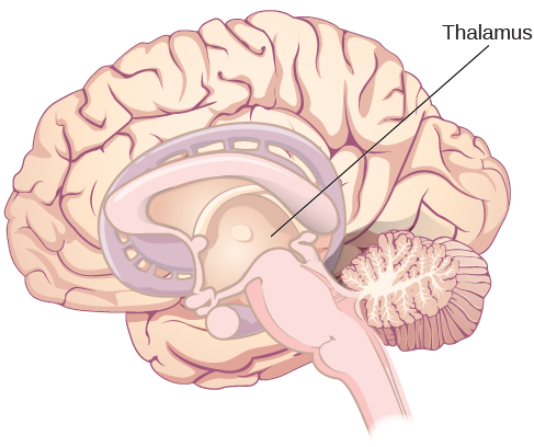 An illustration shows the location of the thalamus in the brain.