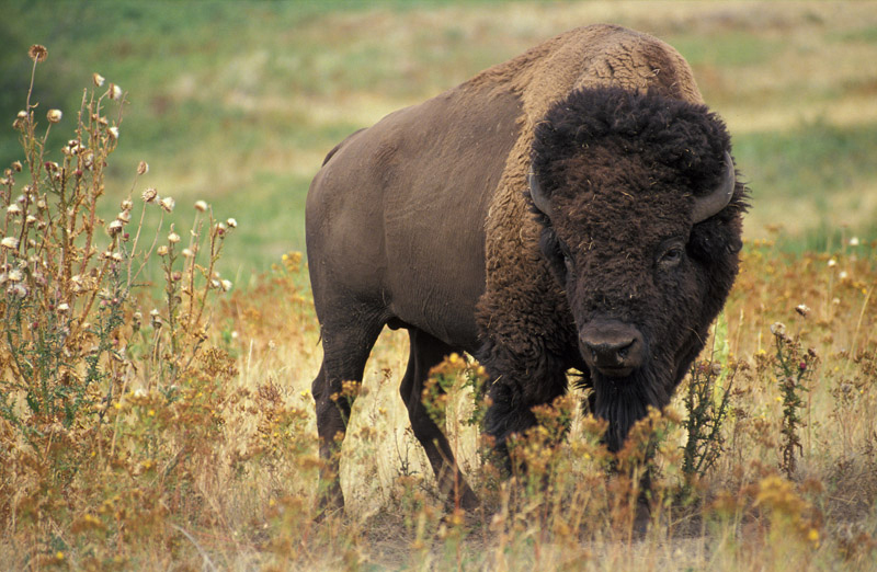Photos depict a bison, which is dark brown in color with an even darker head. The hind part of the animal has short fur, and the front of the animal has longer, curly fur.