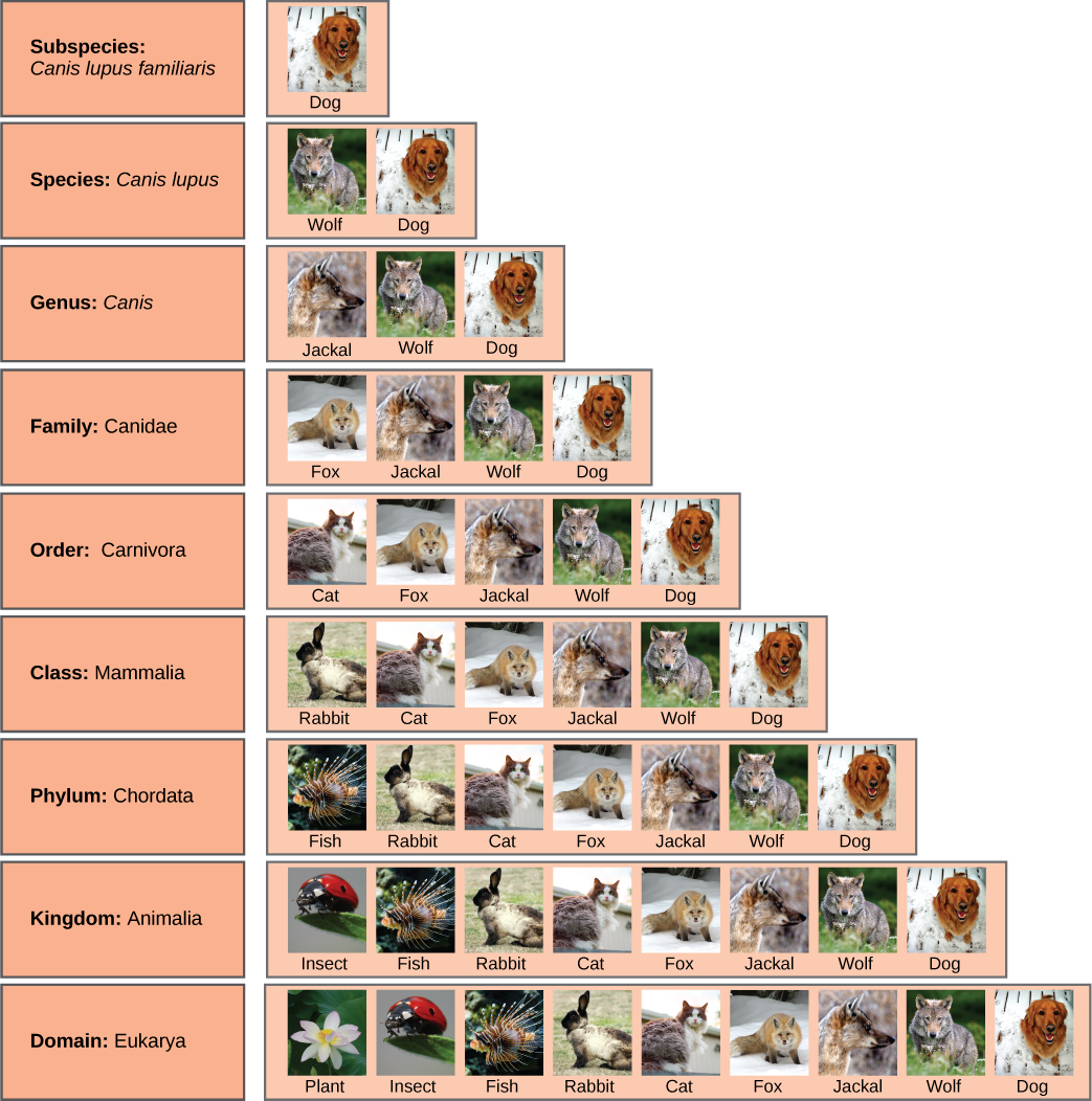 Illustration shows the taxonomic groups shared by various species.