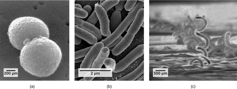 Scanning electron micrograph a shows ball-shaped cocci. Scanning electron micrograph b shows rod-shaped bacilli. Scanning electron micrograph c shows corkscrew-shaped spirilla.
