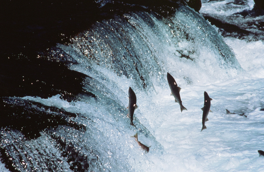 Photo of adult sockeye salmon midair, trying to swimming up a waterfall.