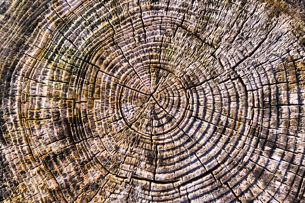 Photo of a cross-section of a tree trunk, revealing its growth rings.