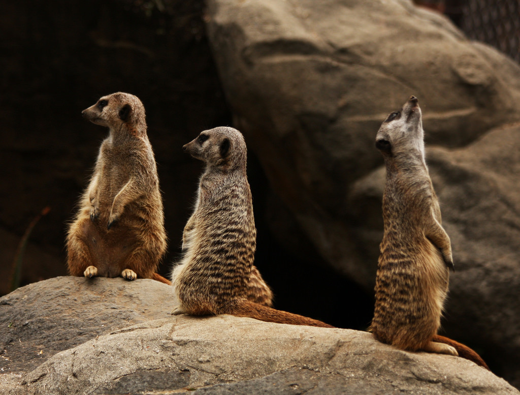 Photo of three meerkats at a zoo.