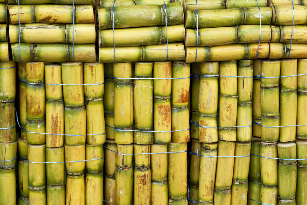 Photo of many small bundles of cut sugarcane, bound by wire.