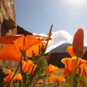several orange flowers