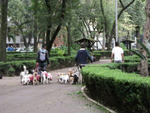 Dog walkers with many dogs