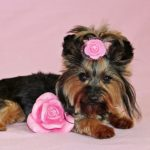 Image of a yorkshire terrier dog with a pink flower in its hair