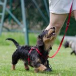 A short dachshund on a leash