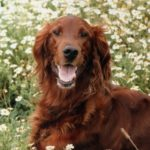 A picture of a red-haired irish setter