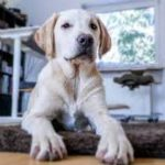 A picture of a blond yellow lab