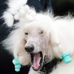 A picture of a poodle looking ugly