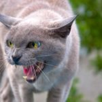 An angry cat hissing