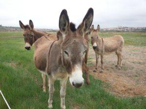 Donkeys / Burros