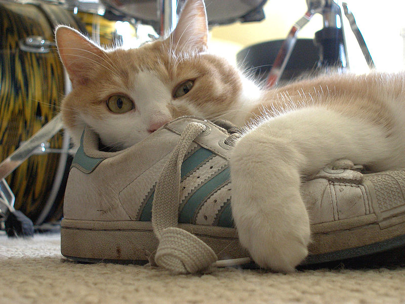 Cat with a tennis shoe