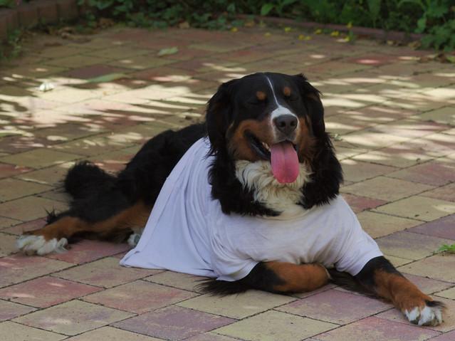 Dog wearing a t-shirt