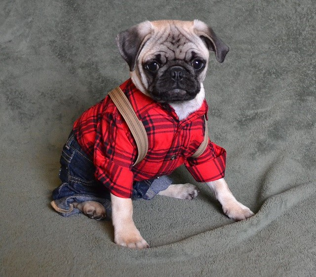 Pug in pants and a shirt