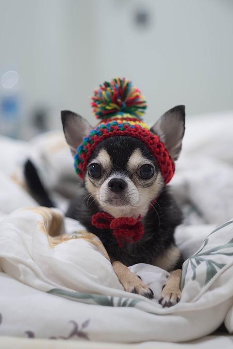 Chihuahua in a cap