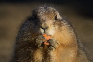 prarie dog eating a chunk of food