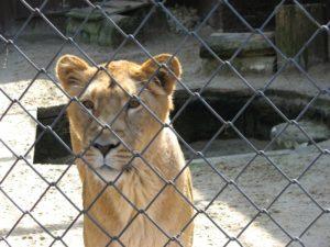 A lioness behind a fence.