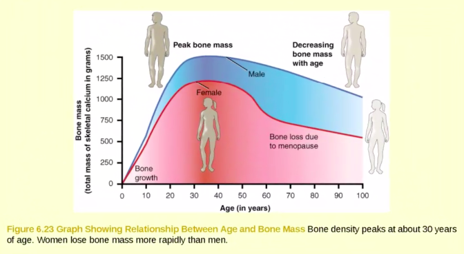 Line graph showing relationship between age and bone mass for men and women. It shows that bone density peaks around 30 years of age and women lose bone mass more rapidly than men.