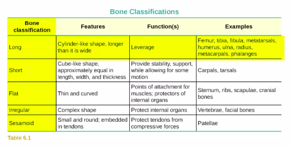 A Table showing bone classifications: long, short, flat, irregular, and sesamoid bones, with descriptions of their features, function, and examples.