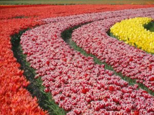 A tulip field with red, red and white, and yellow tulips.