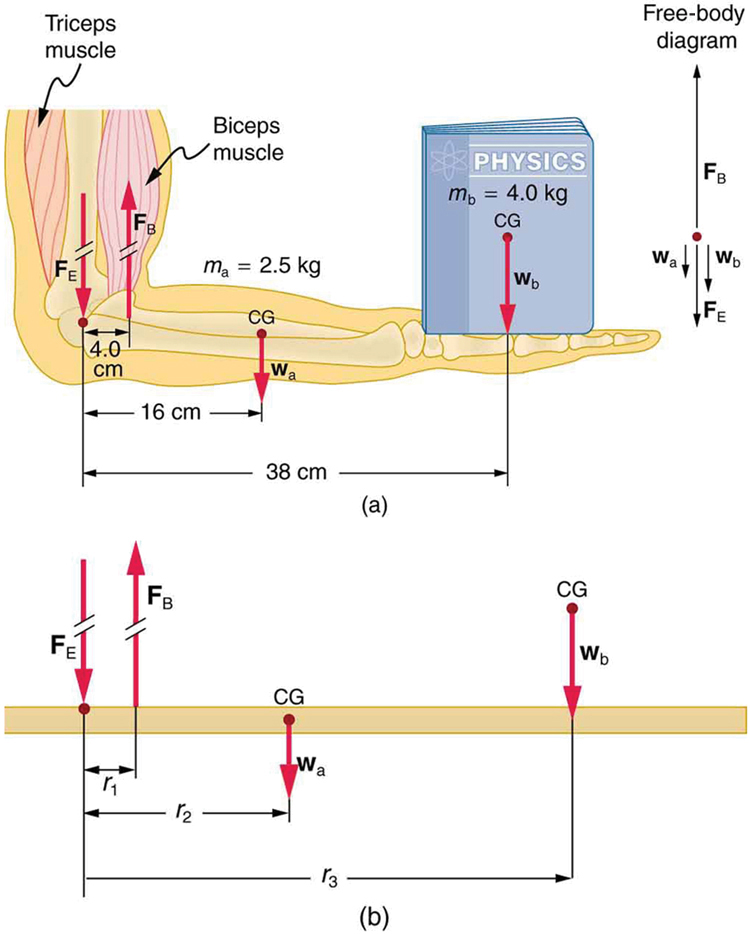 Forces And Torques In Muscles And Joints Physics