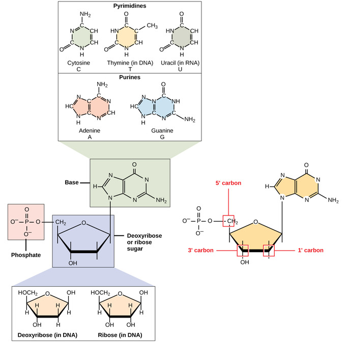 dna and rna introduction to chemistry
