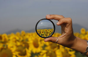 Hand holding a camera lens in front of a blurry field of sunflowers; through the lens they are clear
