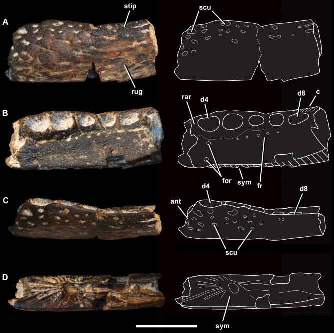 Four different views of the jaw bone: top, bottom, and both sides.
