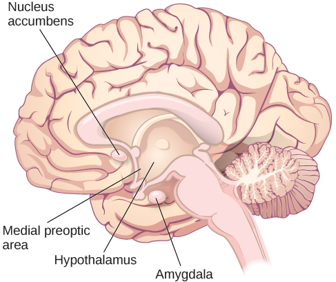 """An illustration of the brain labels the locations of the """"nucleus accumbeus,"""" """"hypothalamus,"""" """"medial preoptic area,"""" and """"amygdala."""""""