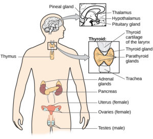 A diagram of the human body illustrates the locations of the thymus, several parts within the brain (pineal gland, thalamus, hypothalamus, pituitary gland), several parts within the thyroid (cartilage of the larynx, thyroid gland, parathyroid glands, trachea), the adrenal glands, pancreas, uterus (female), ovaries (female), and testes (male).
