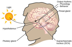 """In this graphic, the outline of a person's head facing left is situated to the right of a picture of the sun, which is labeled """"light"""" with an arrow pointing to a location in the brain where light input is processed. Inside the head is an illustration of a brain with the following parts' locations identified: Suprachiasmatic nucleus (SCN), Hypothalamus, Pituitary gland, Pineal gland, and Output rhythms: Physiology and Behavior."""