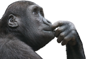 Chimpanze with his hand to his mouth, looking thoughtful and pensive.