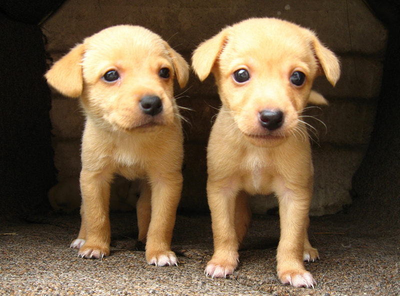 Two similar-looking puppies.