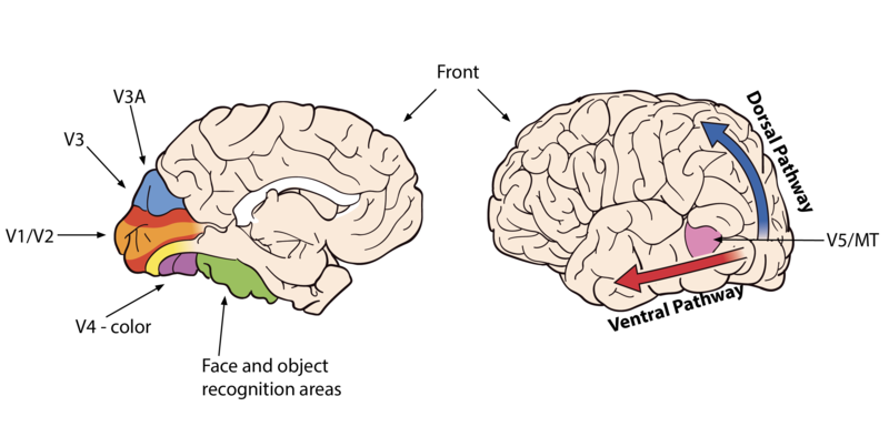 Areas of the brain showing the ventral pathway, along the side of the brain closer to the temporal lobes, and the dorsal pathway in the back of the brain. It also shows the visual cortex areas at the back of the brain: V1/V2, V3, V3A, and V4 (associated with color), and the faces and object recognition areas (next to V4).
