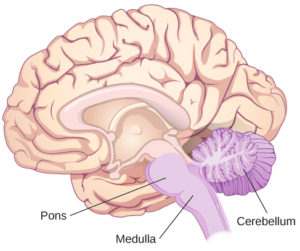 An illustration shows the location of the pons, medulla, and cerebellum.