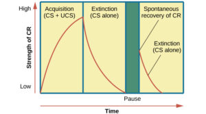 """A chart has an x-axis labeled """"time"""" and a y-axis labeled """"strength of CR;"""" there are four columns of graphed data. The first column is labeled """"acquisition (CS + UCS) and the line rises steeply from the bottom to the top. The second column is labeled """"Extinction (CS alone)"""" and the line drops rapidly from the top to the bottom. The third column is labeled """"Pause"""" and has no line. The fourth column has a line that begins midway and drops sharply to the bottom. At the point where the line begins, it is labeled """"Spontaneous recovery of CR""""; the halfway point on the line is labeled """"Extinction (CS alone)."""""""