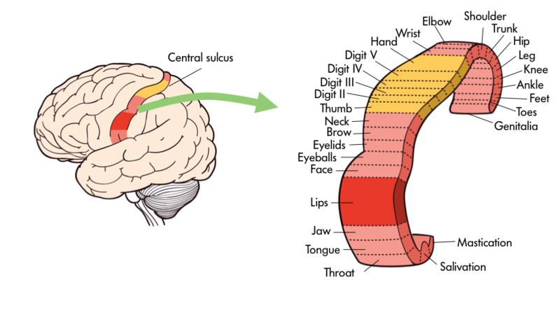 Parts Of The Brain Introduction To Psychology