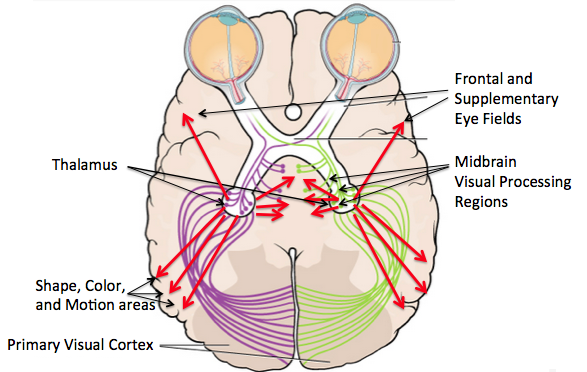 Overhead image of the brain showing the eyes at the front and demonstrating how messages from the eyes go to the thalamus and then out into other regions of the brain and not just the primary visual cortex in the back.