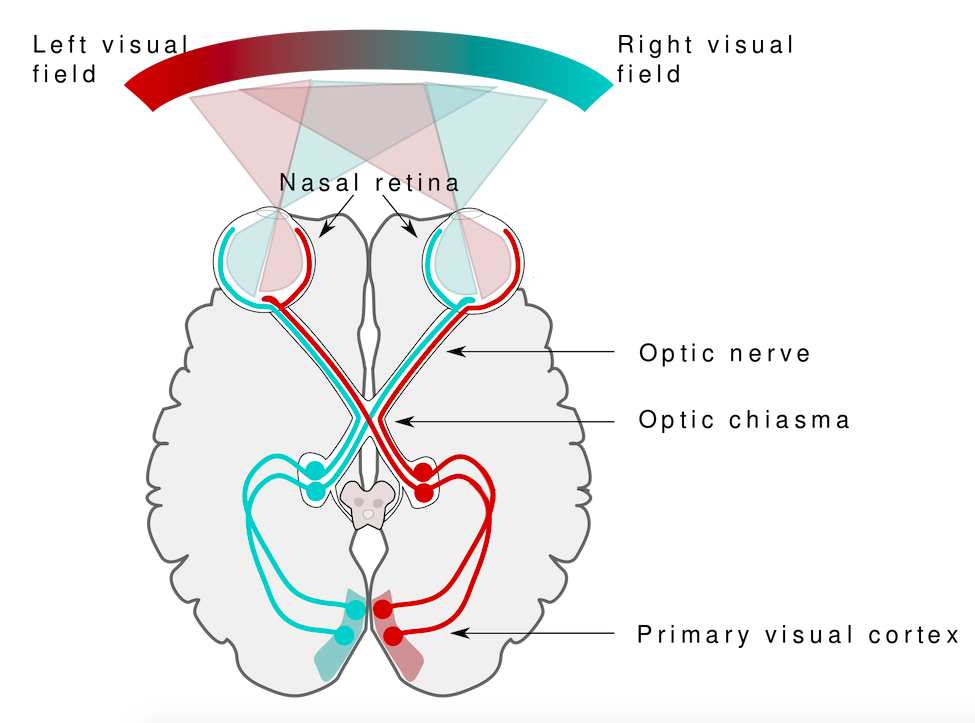 Overhead image of the brain showing how the visual field of both eyes is split and the information cross in the brain so that the left visual field is interpreted in the right hemisphere of the brain, and vice versa.