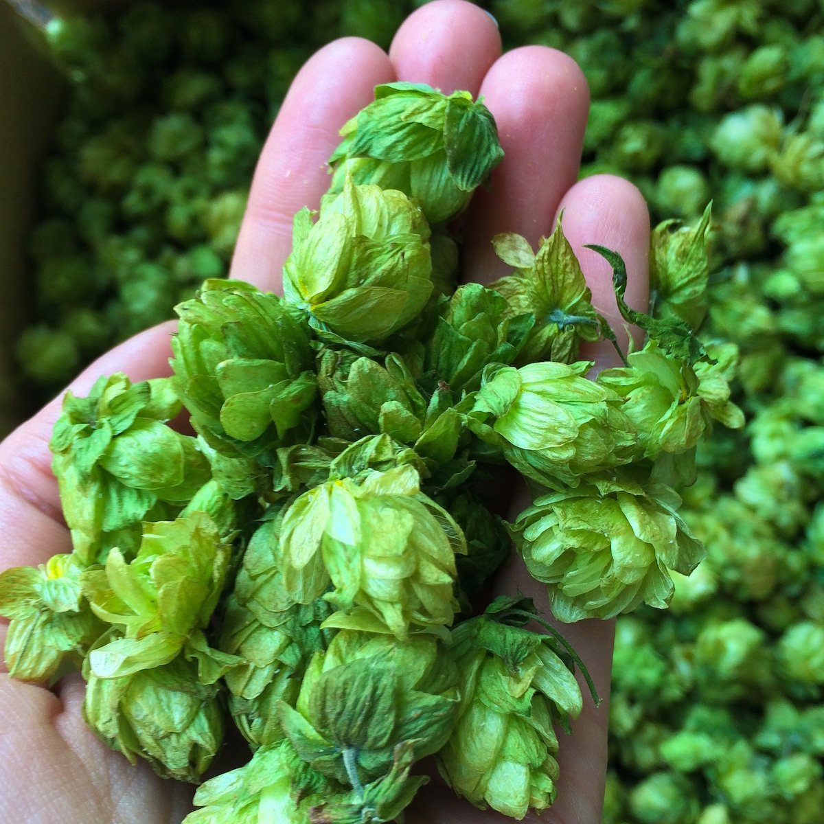 12 single hop beers to test your palate for Craft beer vs microbrew