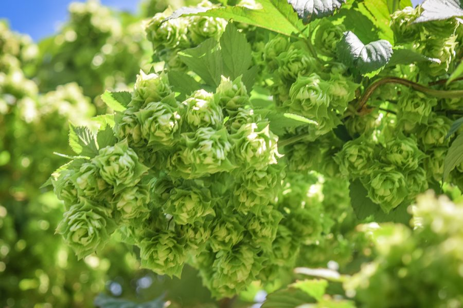 Hops and Bees