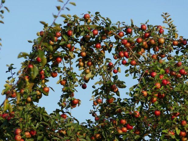 Apple Tree 1782514 960 720