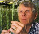 Robert Allan looking at wheat heads